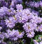 Zwerg Rhododendron Bluebird 20-25cm - Zwerg Alpenrose
