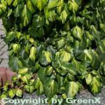 Kaukasischer Efeu Sulphur Heart 40-60cm - Hedera colchica