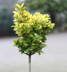 Hochstamm Kriechspindel Canadale Gold 80-100cm - Euonymus fortunei