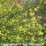 Alpen Johannisbeere 40-60cm - Ribes alpinum