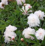 Edelpfingstrose Pecher - Paeonia lactiflora