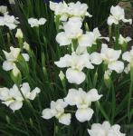 Sibirische Wieseniris Alba - Iris sibirica
