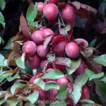 Großfrüchtige Blutpflaume 100-125cm - Prunus Trailblazer