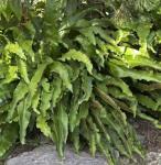 Hirschzungenfarn Angustifolia - Phyllitis scolopendrium