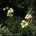 Taglilie Snowy Apparition - Hemerocallis