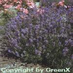 Echter Lavendel Dwaf Blue - Lavandula angustifolia