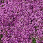 Zitronenquendel Coccineus - Thymus serpyllum