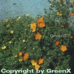 10x Fünffingerstrauch Red Ace - Potentilla fruticosa