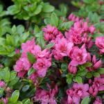 Kriechende Immergrüne Zwerg Azalee Mariko 20-25cm - Rhododendron nakaharai