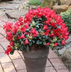 Zwerg Rhododendron Bengal 30-40cm - Rhododendron repens