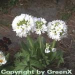 Kugelprimel Alba - Primula denticulata