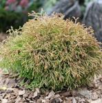 Lebensbaum Golden Tuffet 10-15cm - Thuja occidentalis