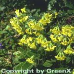 Himmelschlüssel - Primula elatior