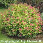 10x Sommerspierstrauch Goldflame 15-20cm - Spiraea japonica
