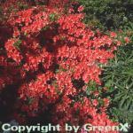 Japanische Azalee Geisha Orange 20-25cm - Rhododendron obtusum - Alpenrose