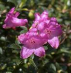 Japanische Azalee Rosinetta® 20-25cm - Rhododendron obtusum
