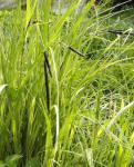Scharfe Segge - Carex acuta
