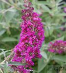 Schmetterlingsstrauch Magenta 30-40cm - Buddleja