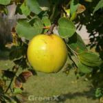 Apfel Quitte Konstantinopeler Apfelquitte 60-80cm - Cydonia oblonga