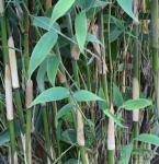 Elfenbeinbambus Ivory Ibis® 80-100cm - Fargesia murielae