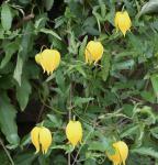 Gold Waldrebe 80-100cm - Clematis tangutica