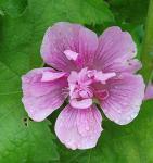Stockrose Parkrondell - Alcalthaea suffrutescens