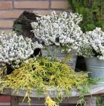 10x Winterheide Märzenschnee - Erica carnea