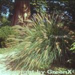 Lampenputzergras Weserbergland - Pennisetum alopecuroides