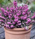 10x Winterheide Rubinette - Erica carnea