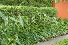 Zwerg Bambus 30-40cm - Sasa pumila