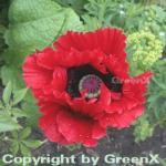 Türkischer Mohn Beauty of Livermere - Papaver orientale