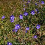 Storchschnabel Azure Rush - Geranium cultorum