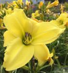 Taglilie Lemon Bells - Hemerocallis cultorum