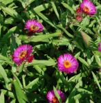 Rauhblattaster Rubinschatz - Aster novae angliae