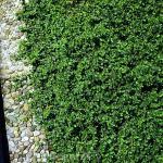 10x Kleinblättrige Kriechspindel Minimus 10-15cm - Euonymus fortunei