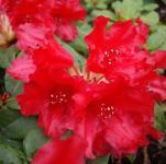 Zwerg Rhododendron Bad Eilsen 20-25cm - Rhododendron repens