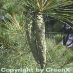 Weymouths Kiefer Seidenkiefer 80-100cm - Pinus strobus