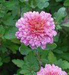 Winteraster Schloßtaverne - Chrysanthemum Indicum