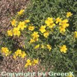 Sonnenröschen Golden Queen - Helianthemum