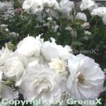 Hochstamm Rose Schneewittchen 80-100cm