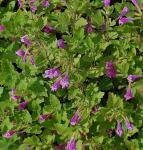 Bergminze Steinquendel - Calamintha grandiflora