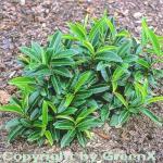 Bodendecker Lorbeerkirsche Mount Vernon 15-20cm - Prunus laurocerasus