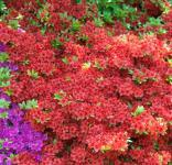 Japanische Azalee Geisha Red 20-25cm - Rhododendron obtusum