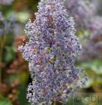 Säckelblume Glorie Versailles 80-100cm - Ceanothus delilianus