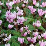 Herbst Alpenveilchen - Cyclamen hederifolium