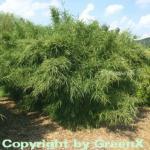 Gartenbambus Jumbo 100-125cm - Fargesia murielae