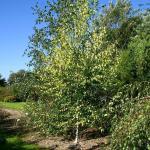 Gelbblättrige Birke 100-125cm - Betula pendula