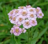 Garten Schafgarbe Love Parade - Achillea sibirica