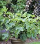 Feigenbaum Kadota 80-100cm - Ficus carica