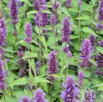Mexikonessel After Eight - Agastache rugosa